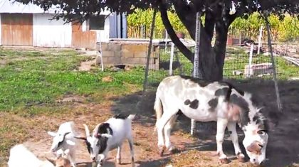 Biggest Billy Goat In The Patch Uses Donkey To Get Food…But Wait Until You See HOW!