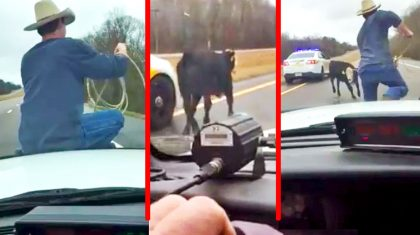 Insane Footage Captures The Moment A Cowboy Rode A Cop Car To Lasso A Runaway Calf