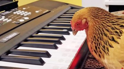 Patriotic Chicken Stuns With Jaw-Dropping Rendition Of 'America The Beautiful'