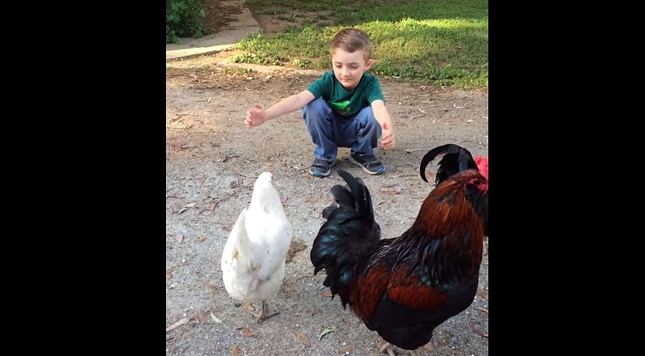Chicken Pet Quote: Watch What Happens When A Little Boy Tries To Hug His Pet