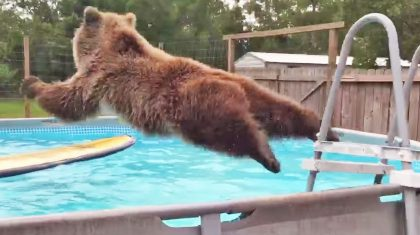 Have You Seen This Belly-Flopping Bear? He's Hysterical