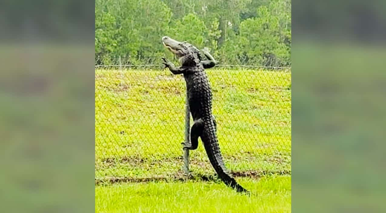 Gator Filmed Climbing Over Fence At Naval Air Station In